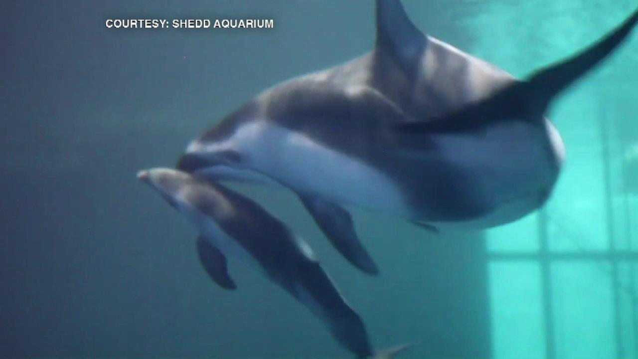 Only 16 Pacific white-sided dolphins are in North American facilities, which makes the birth even more special.