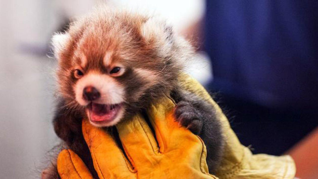 One of the two red panda cubs born at Lincoln Park Zoo on June 24.