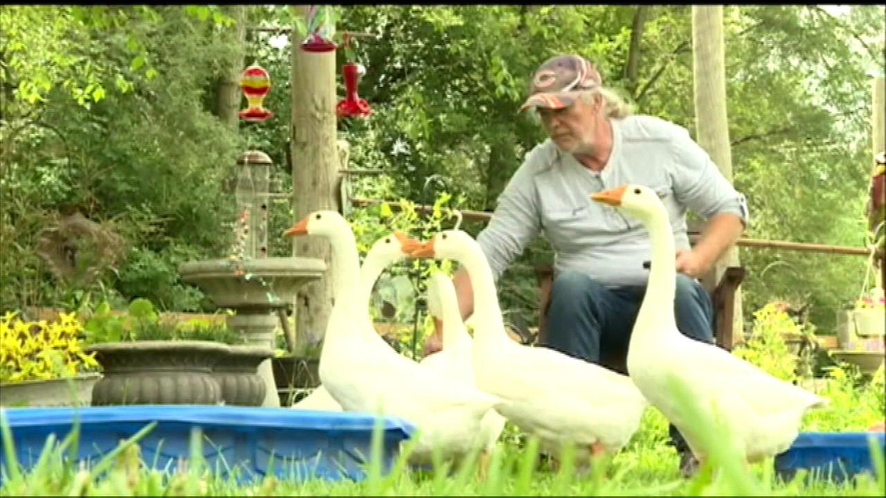 a disabled man who uses a gaggle of geese as therapy pets is now fighting to