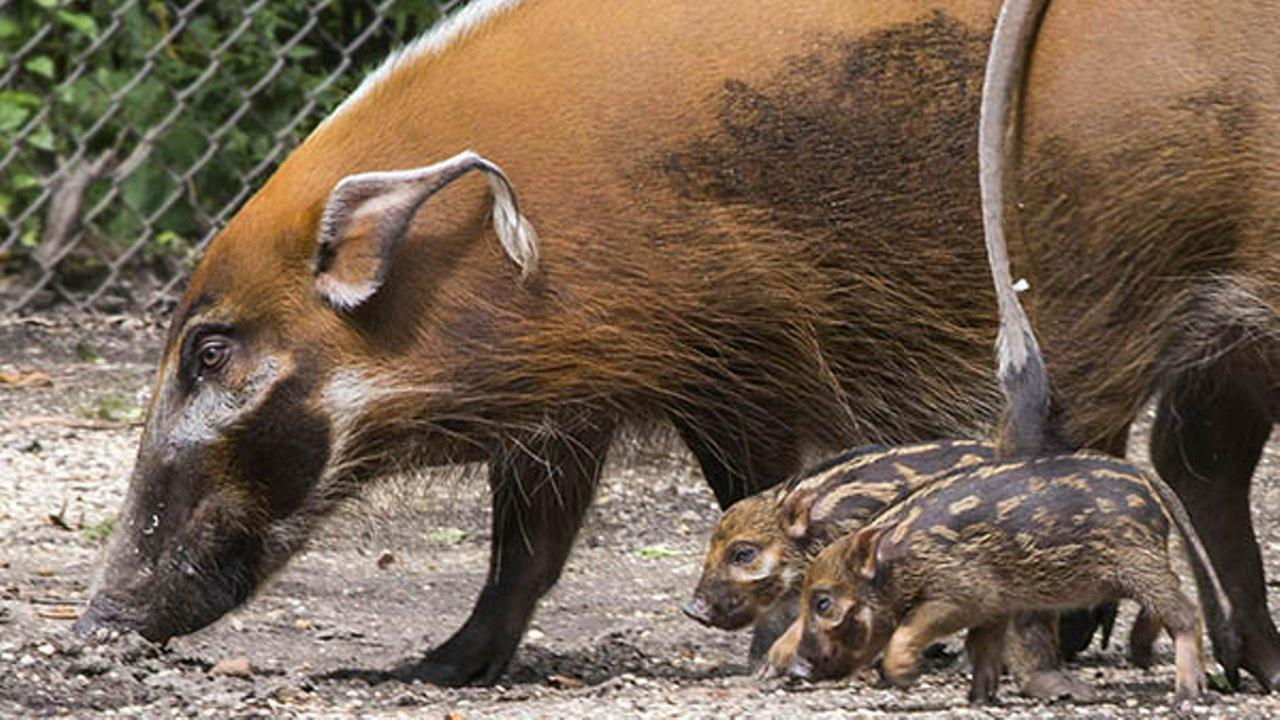 Red river hog piglets born at Brookfield Zoo