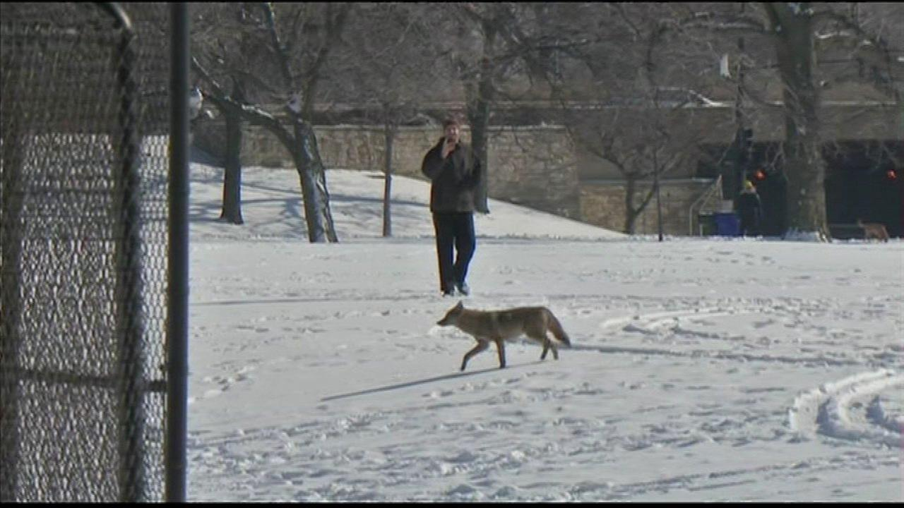 Uptick in coyote sightings reported in Plainfield