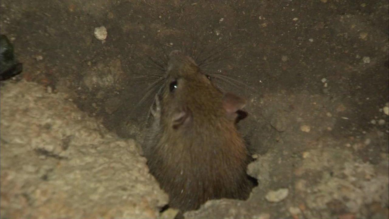 Chicago tops list of rattiest US cities