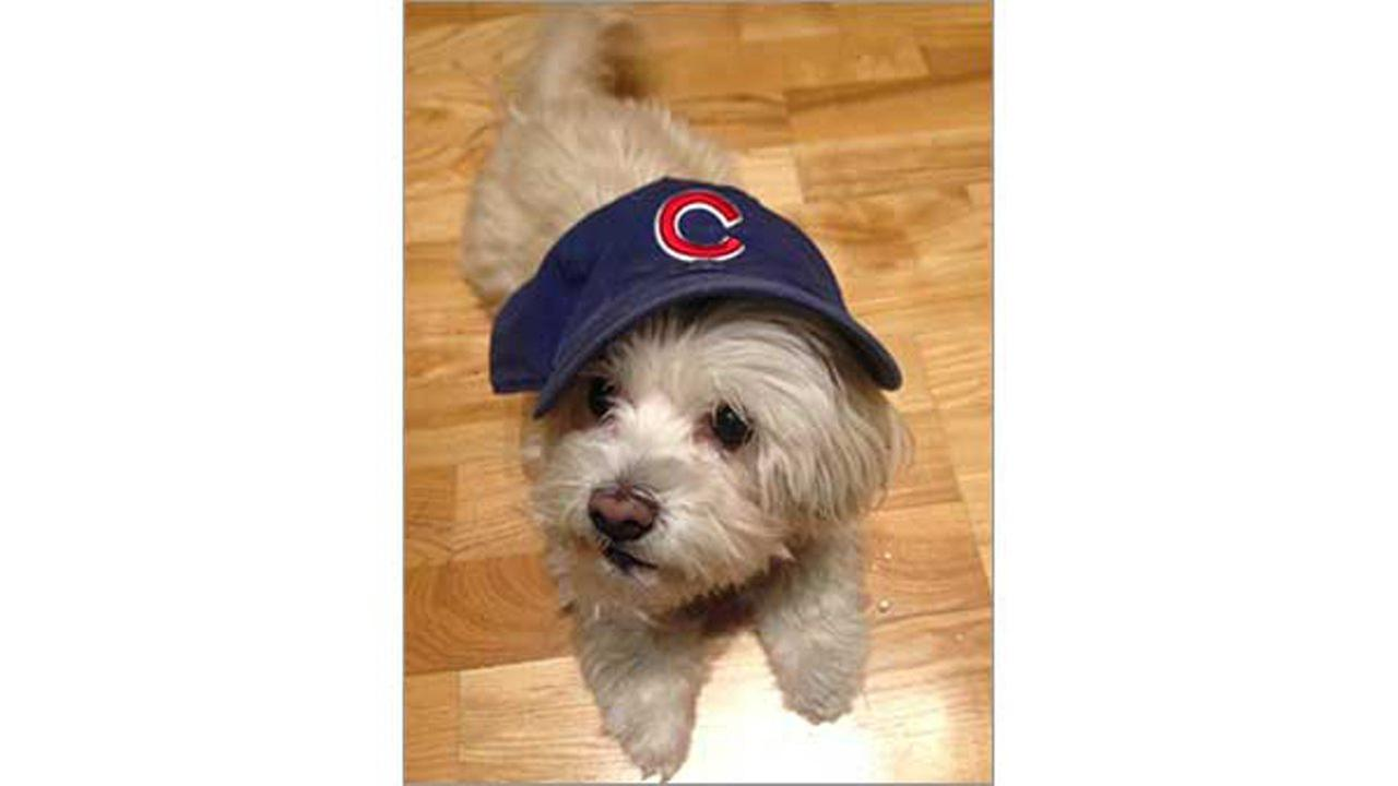 Bella barks for the Cubs!