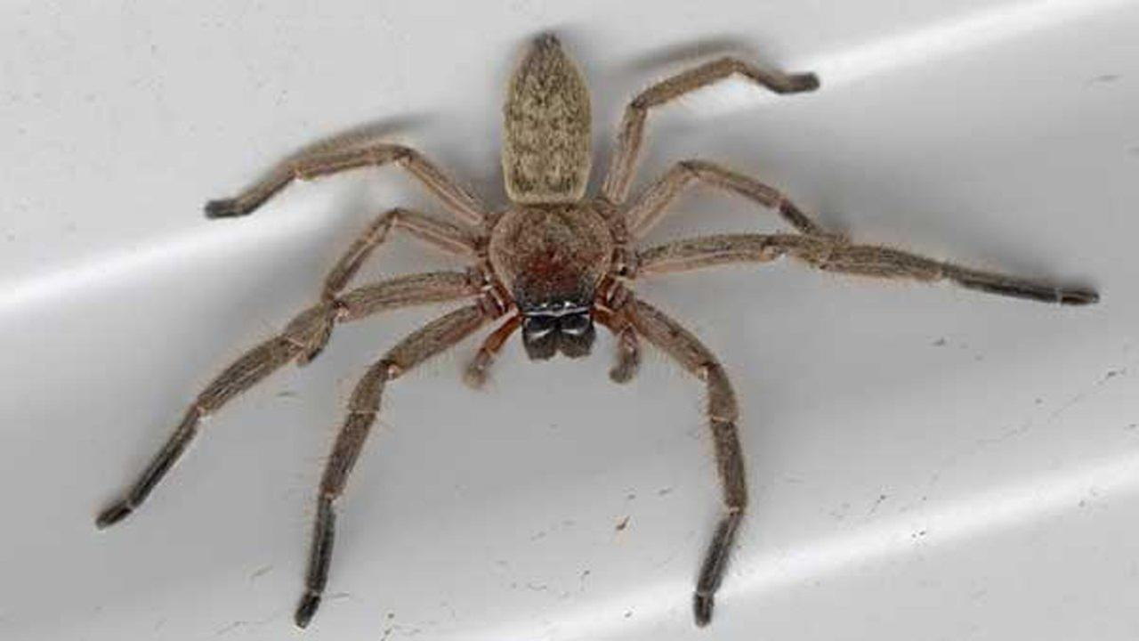 Huntsman spider.