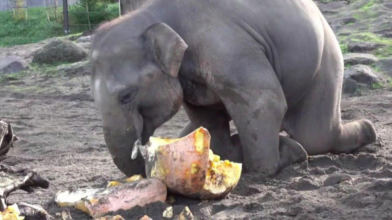 WATCH: Elephants smash mammoth pumpkins at Oregon Zoo