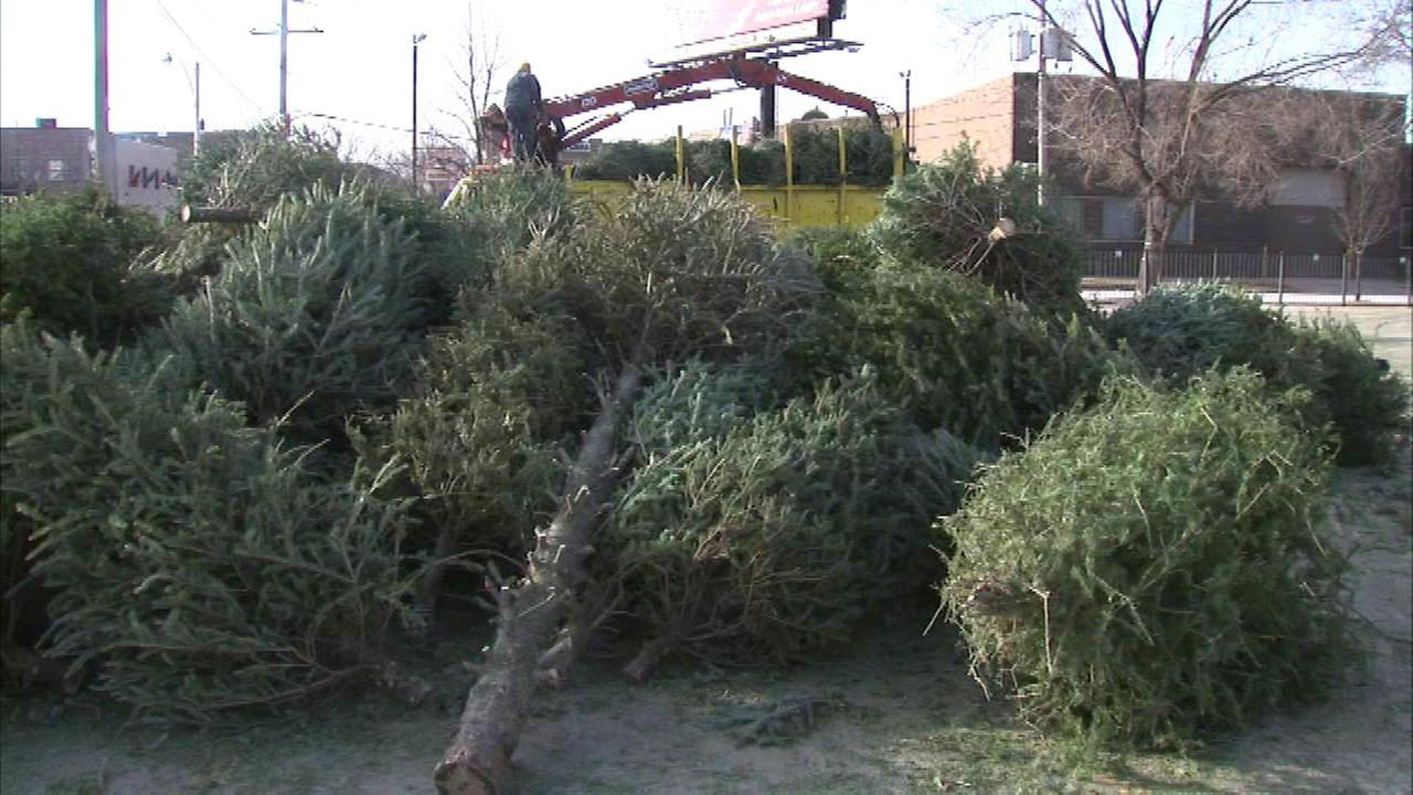 Chicago to begin Christmas tree recycling next week