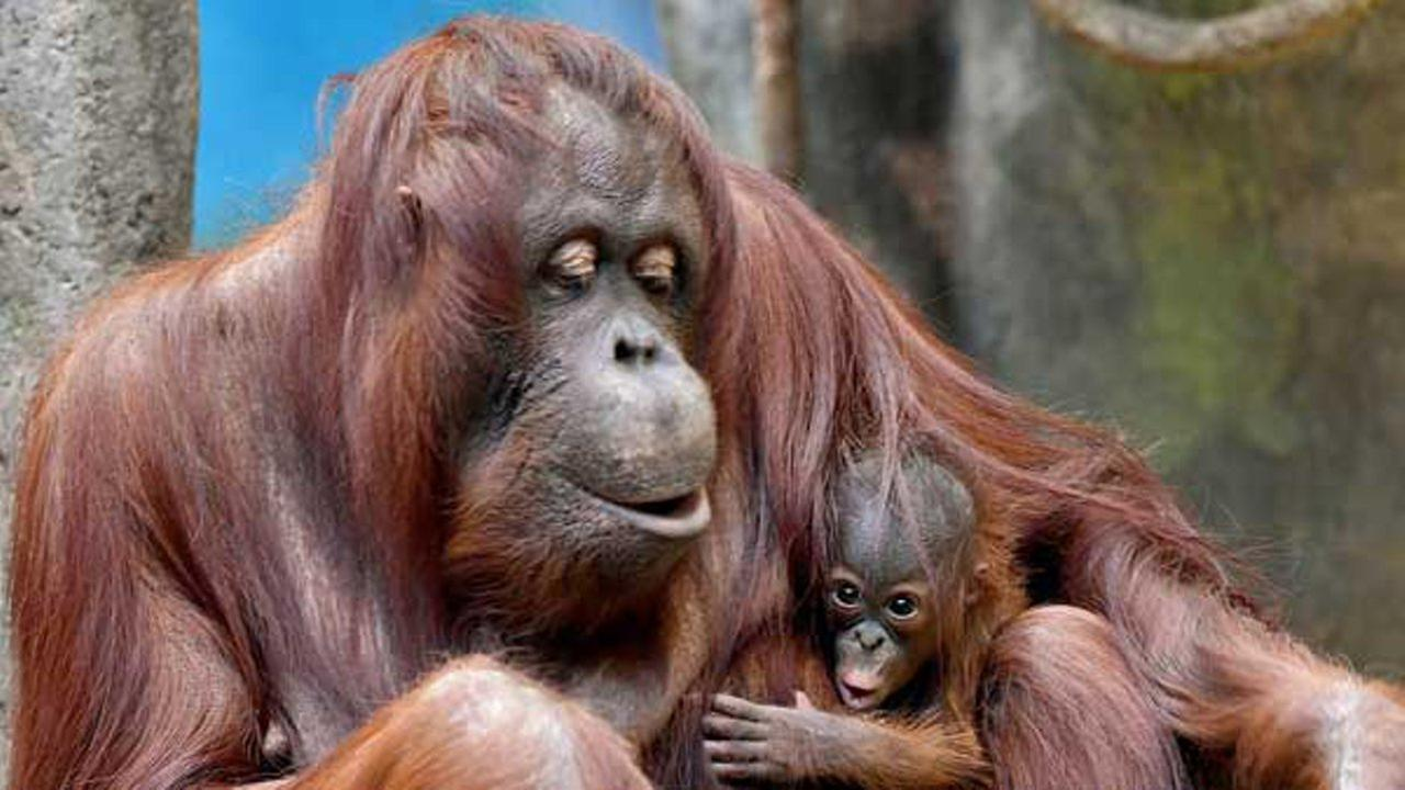 A female Bornean orangutan was born at Brookfield Zoo on December 20. She can be seen most mornings with her mom Sophia.