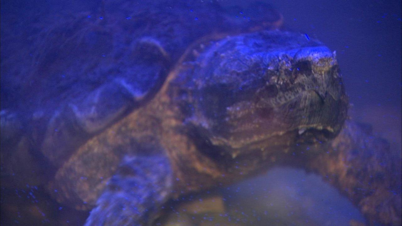 Alligator snapping turtle 'Patsy McNasty' gets new home at nature museum