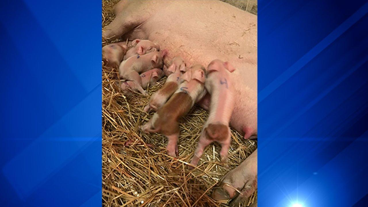 Sow at Chicago Agricultural School delivers 10 piglets
