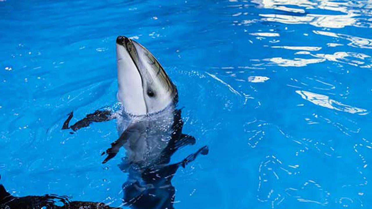 Pacific white-sided dolphin calf, Kukdlaa.