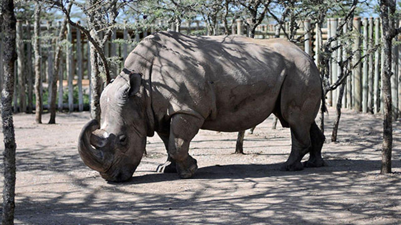 Last male northern white rhino in the world