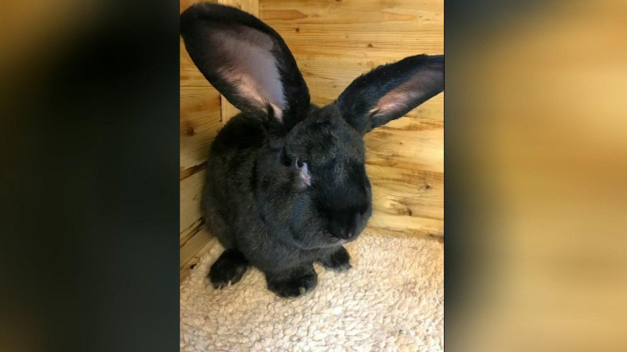 The owners of a giant rabbit that died after flying from the United Kingdom to Chicago want to know more about the animals death and why he was so quickly cremated.