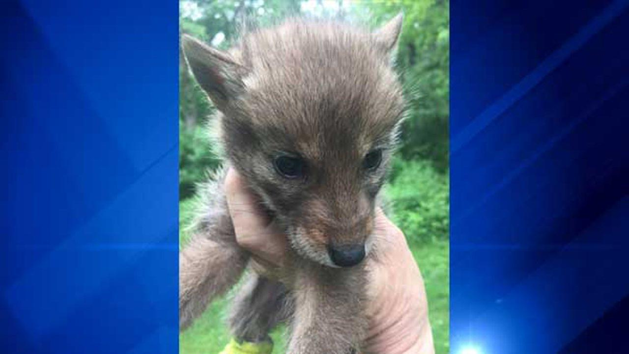 6 coyote pups drowned in Barrington, 1 survives; police search for killer