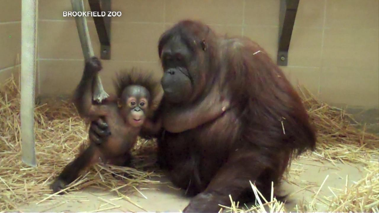 Staff say Kecil and his new mom Maggie are doing great and have been together since the babys arrival a month ago.