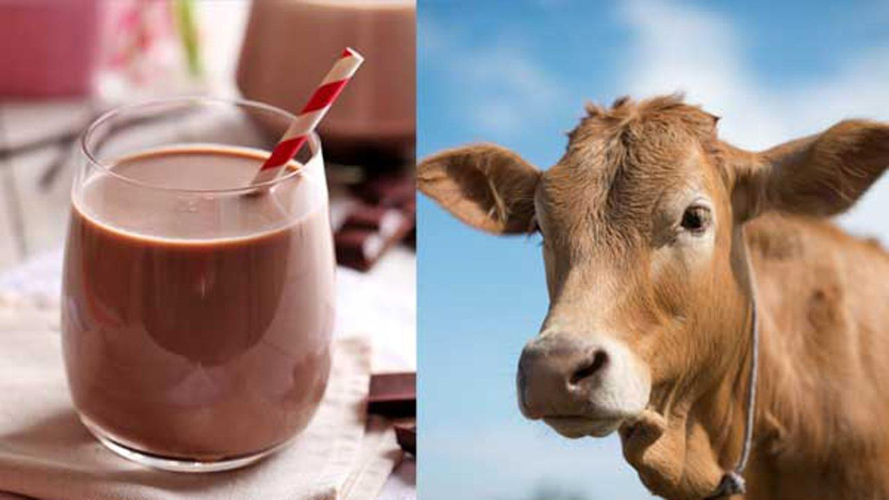 7 percent of adults think chocolate milk comes from brown cows, survey says
