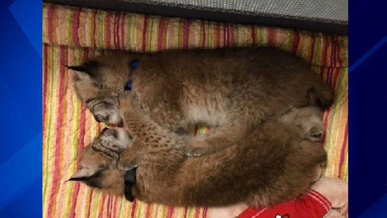 2 baby Siberian lynx stolen from Wis. petting zoo