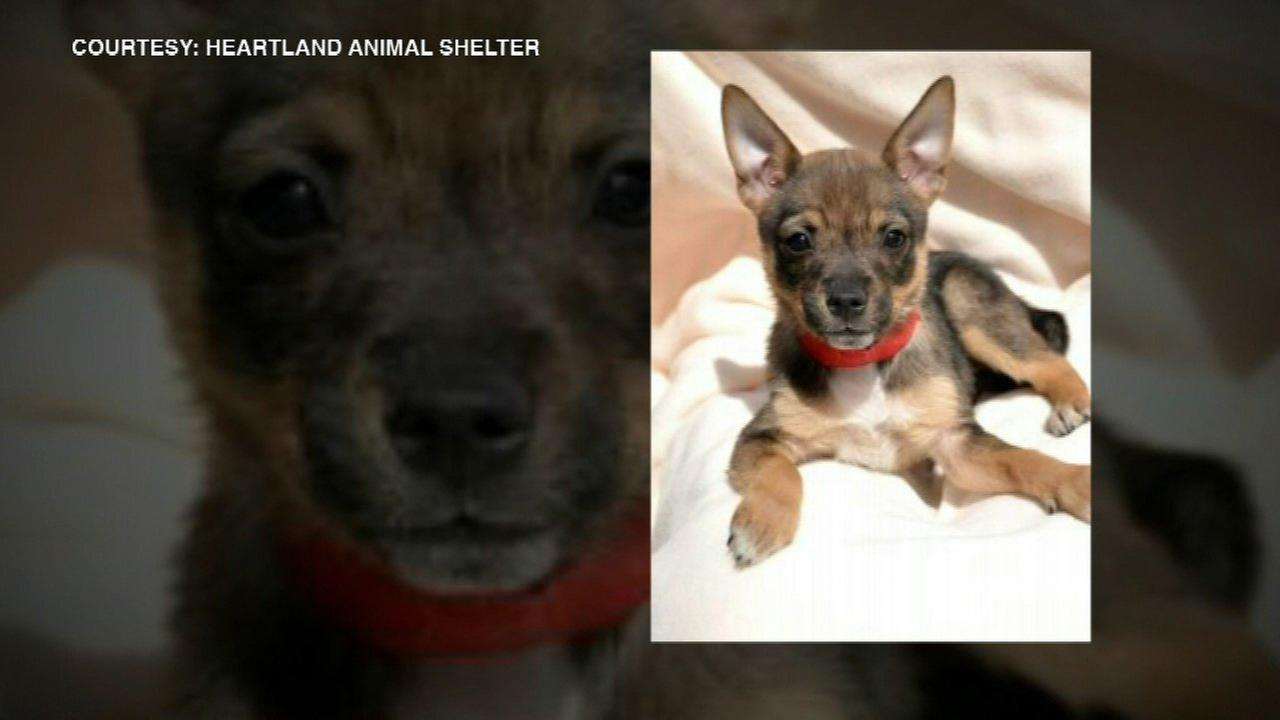 Harmonee, a 10-week-old terrier mix, was stolen Thursday from Heartland Animal Shelter in north suburban Northbrook.