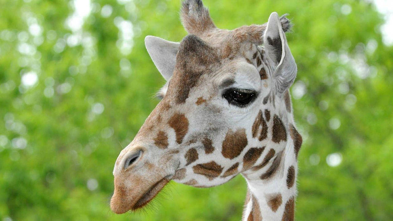 Mithra arrived at the Brookfield Zoo in September 1992 and was one of the oldest giraffes in a North American accredited zoo.