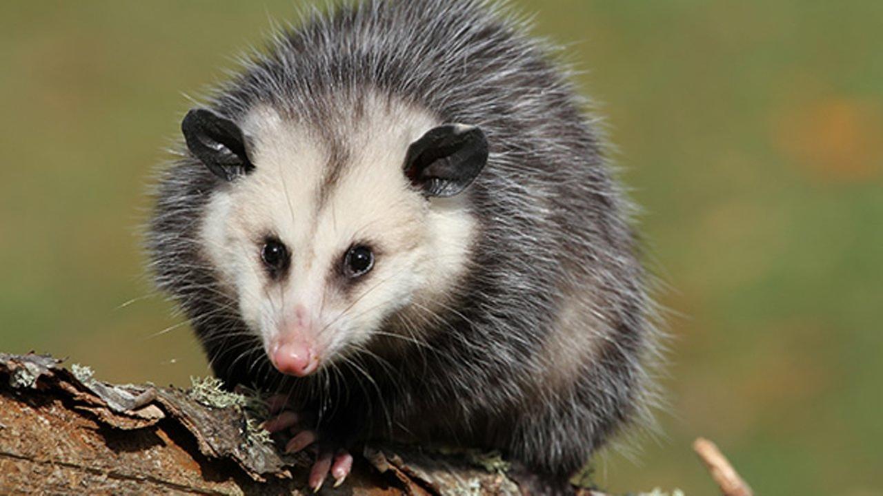 File: Opossum
