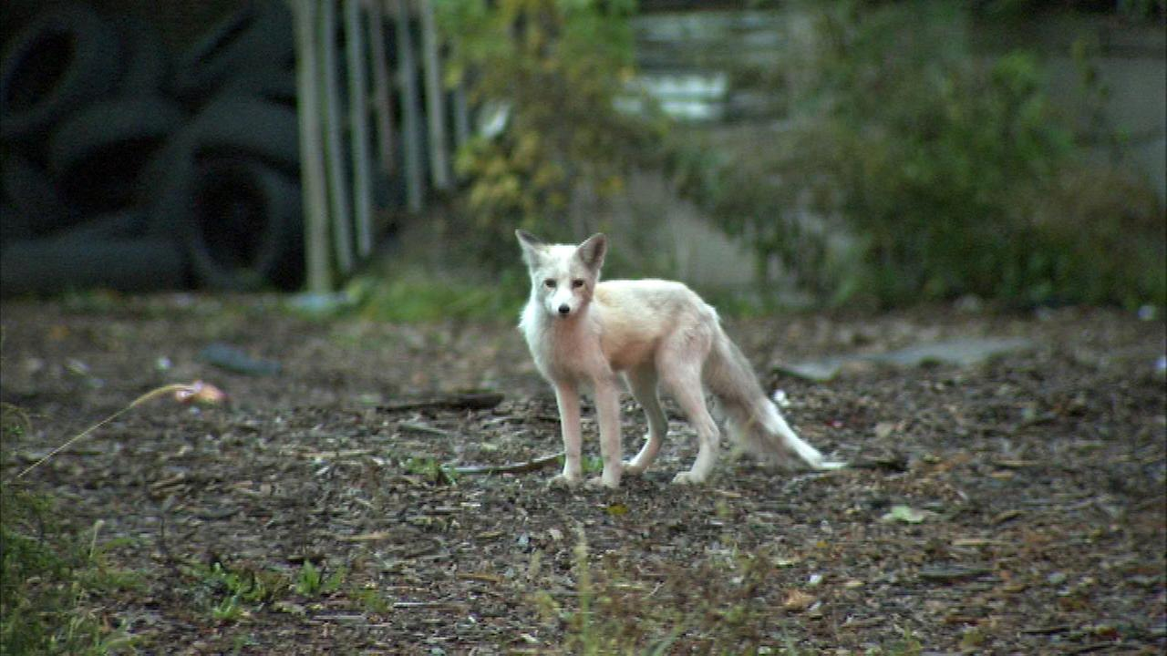Wandering West Side baby fox returned to owner