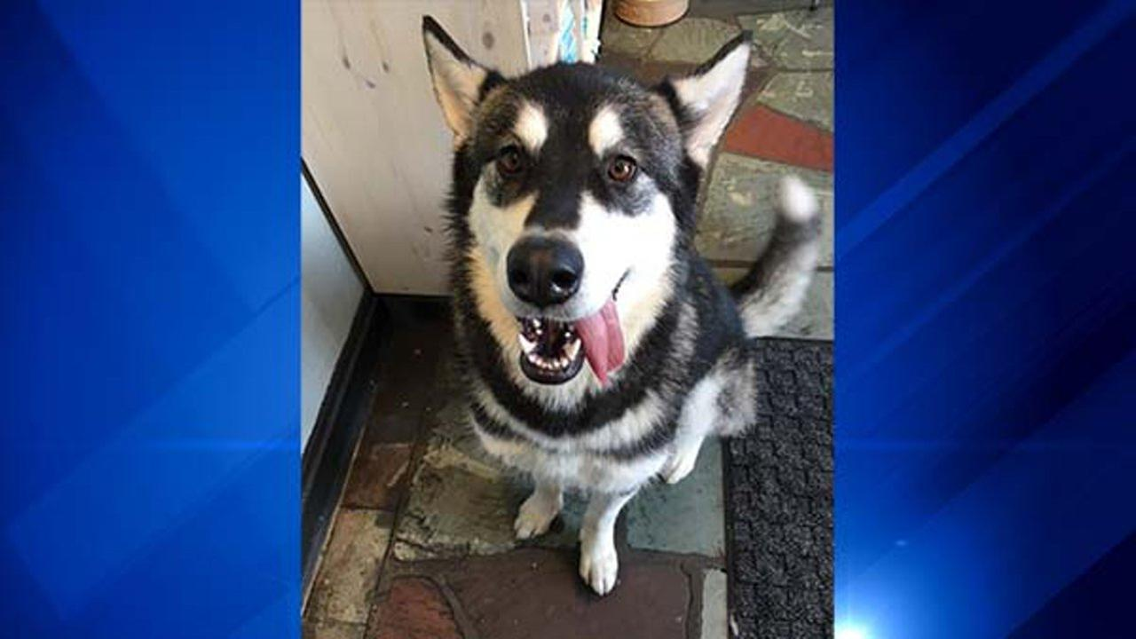 Izabella the Malamute lives on Chicagos North Side. She usually walks about a mile and a half to daycare with her owner. But things took a scary turn Tuesday morning.