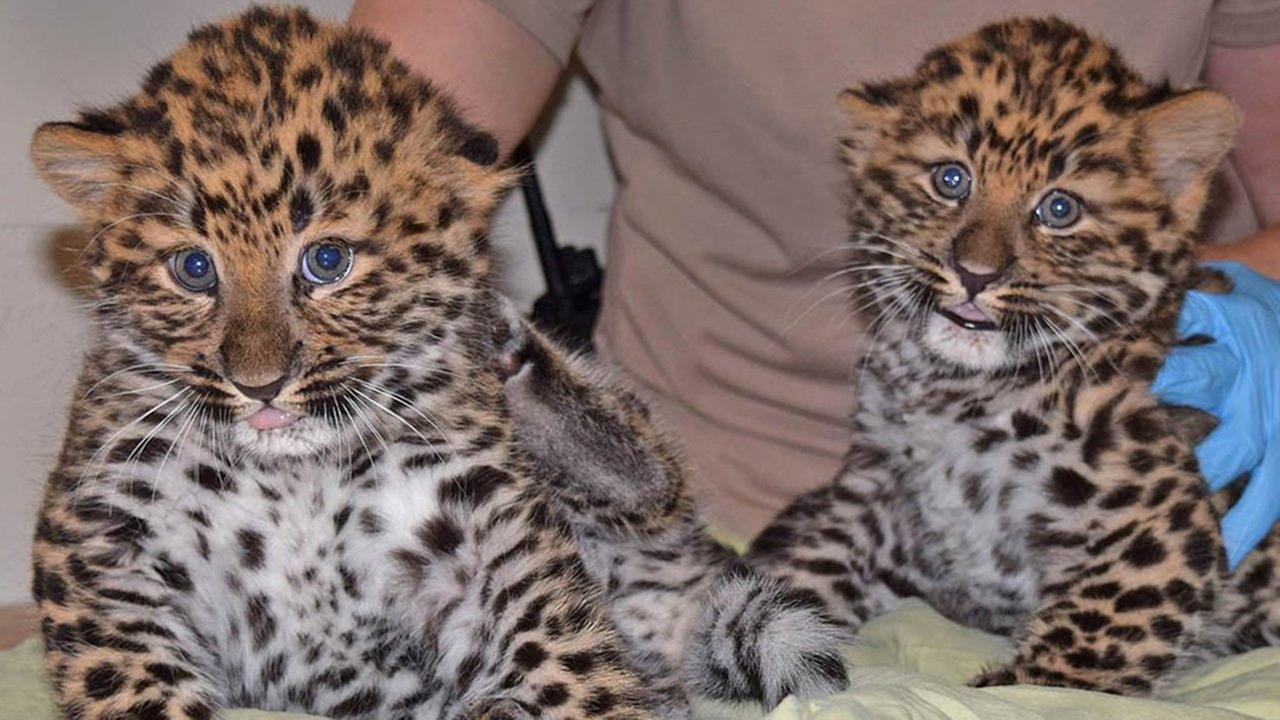 The Brookfield Zoo announced the births of two male Amur leopard cubs Thursday.