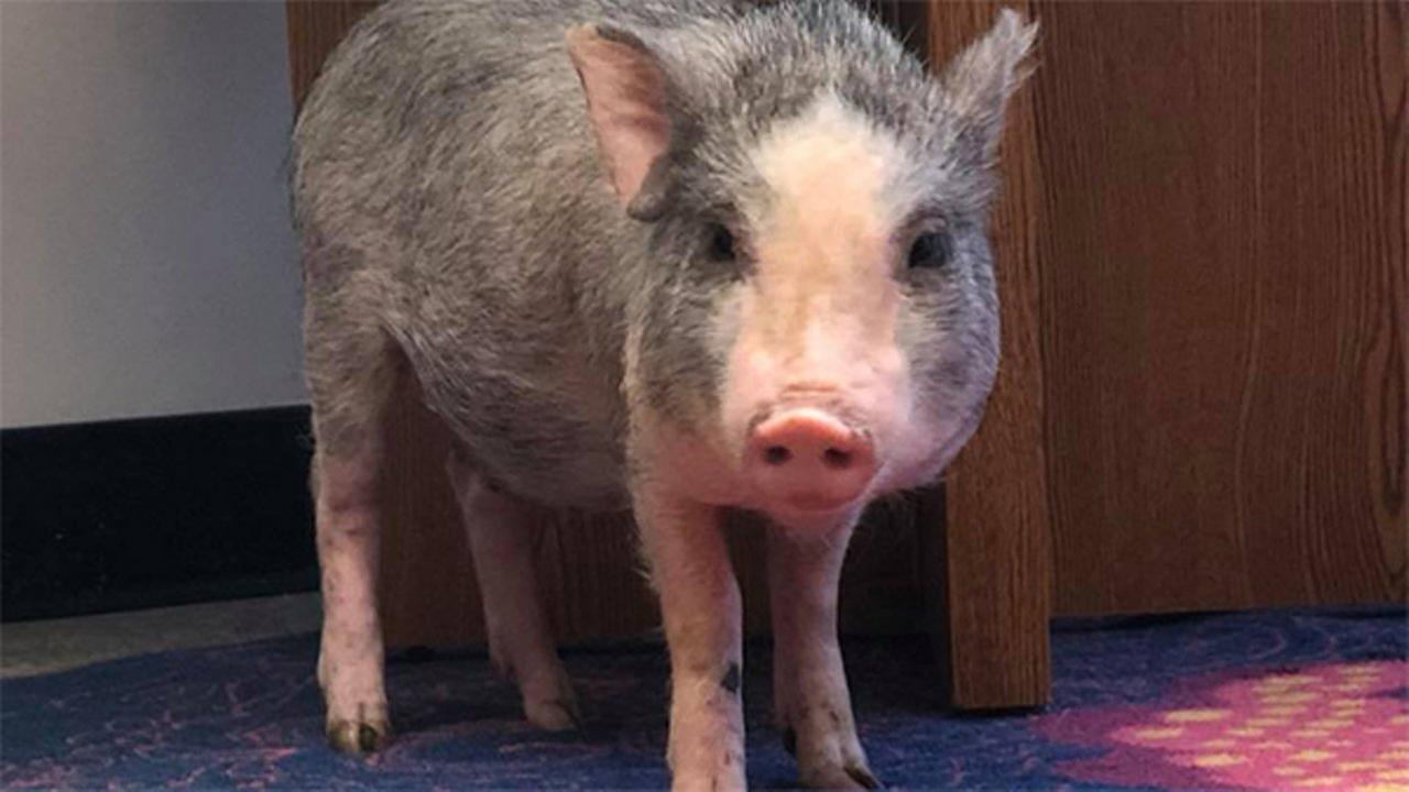 Is this your piglet? Baby pig found in Logan Square