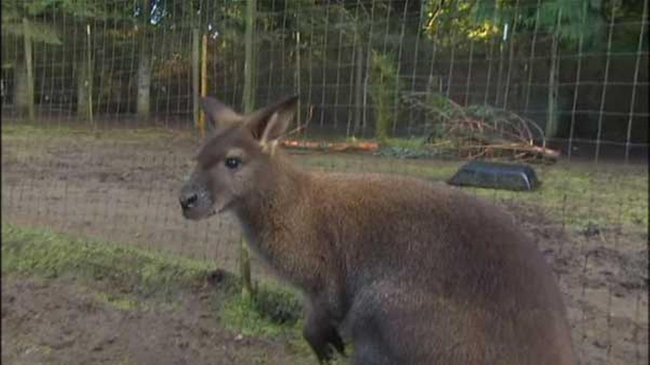 Bella, a wallaby missing from Washington state, looks similar to Boomer, who is pictured above.