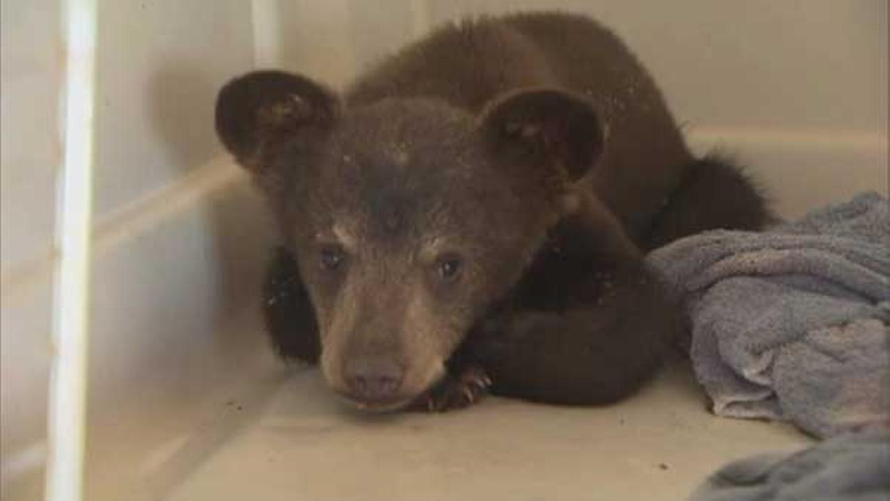 Hungry bear cub found wandering Texas neighborhood