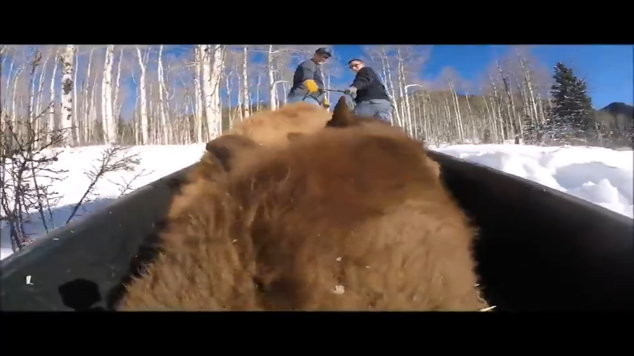 Eight bear cubs -- each weighing between 100 and 150 pounds ? were transported by sled to their new articifical dens after their mothers died.