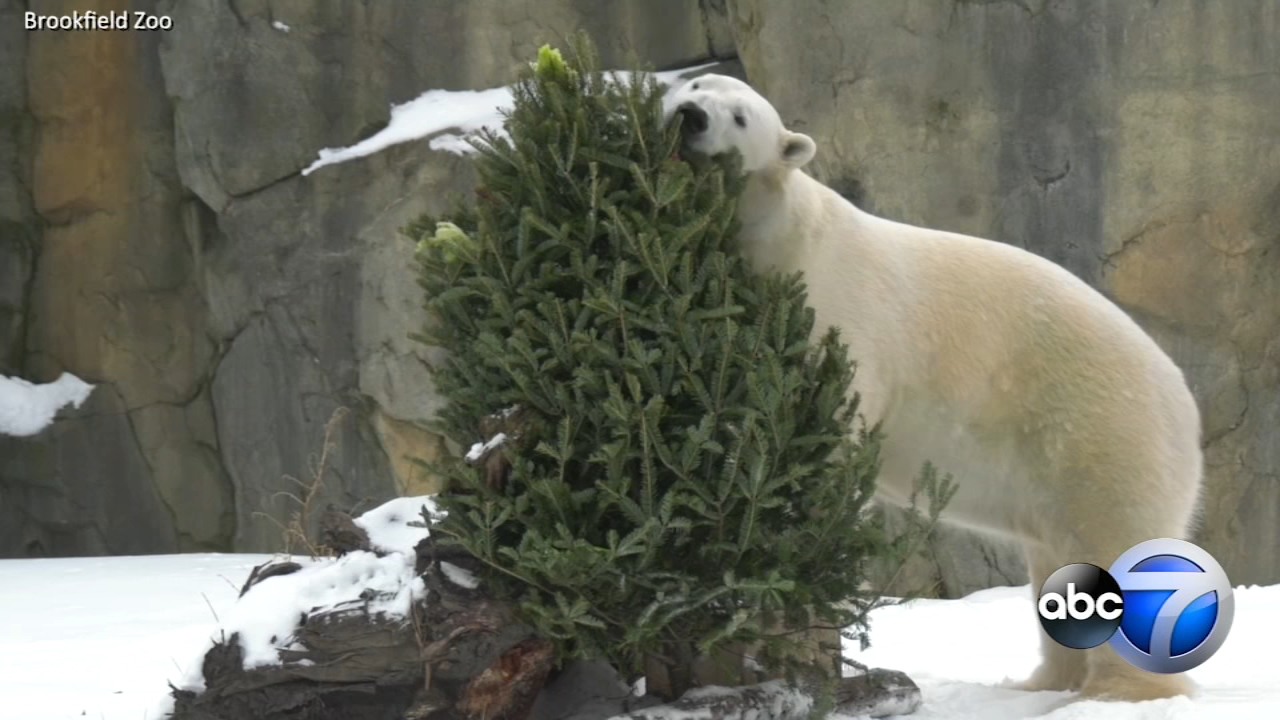 Animals at the Brookfield Zoo had some fun with with repurposed holiday trees on Tuesday.
