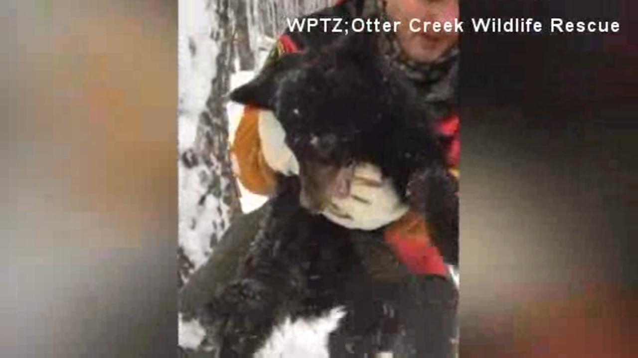 Vermont state game wardens rescued an orphaned bear cub, who was weak and malnourished, from a tree and taken to a rehab facility.