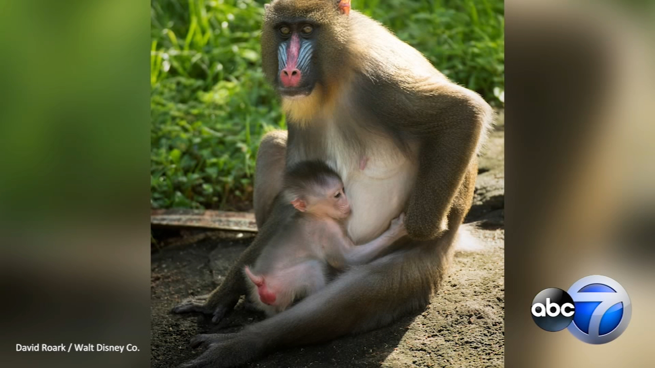A baby mandrill was born on August 8 at Disneys Animal Kingdom.