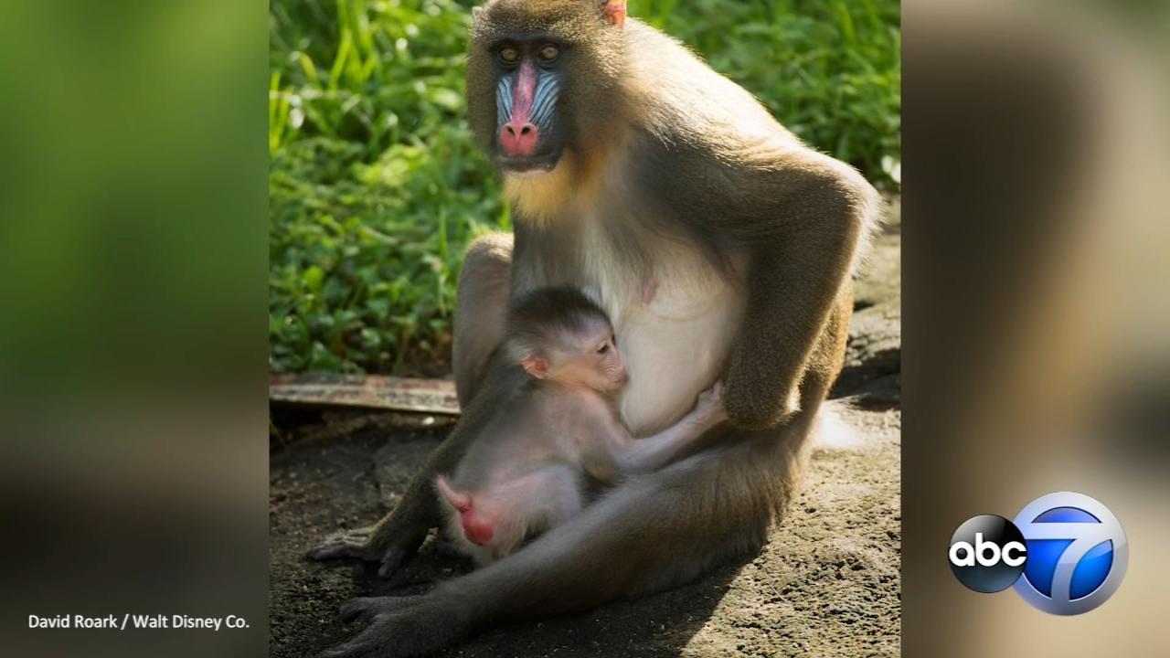 A baby mandrill was born on August 8 at Disneys Animal Kingdom.