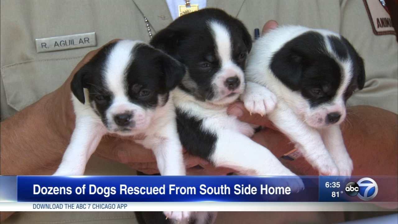 Chicagos Animal Care and Control rescued 48 dogs from a home on the South Side.