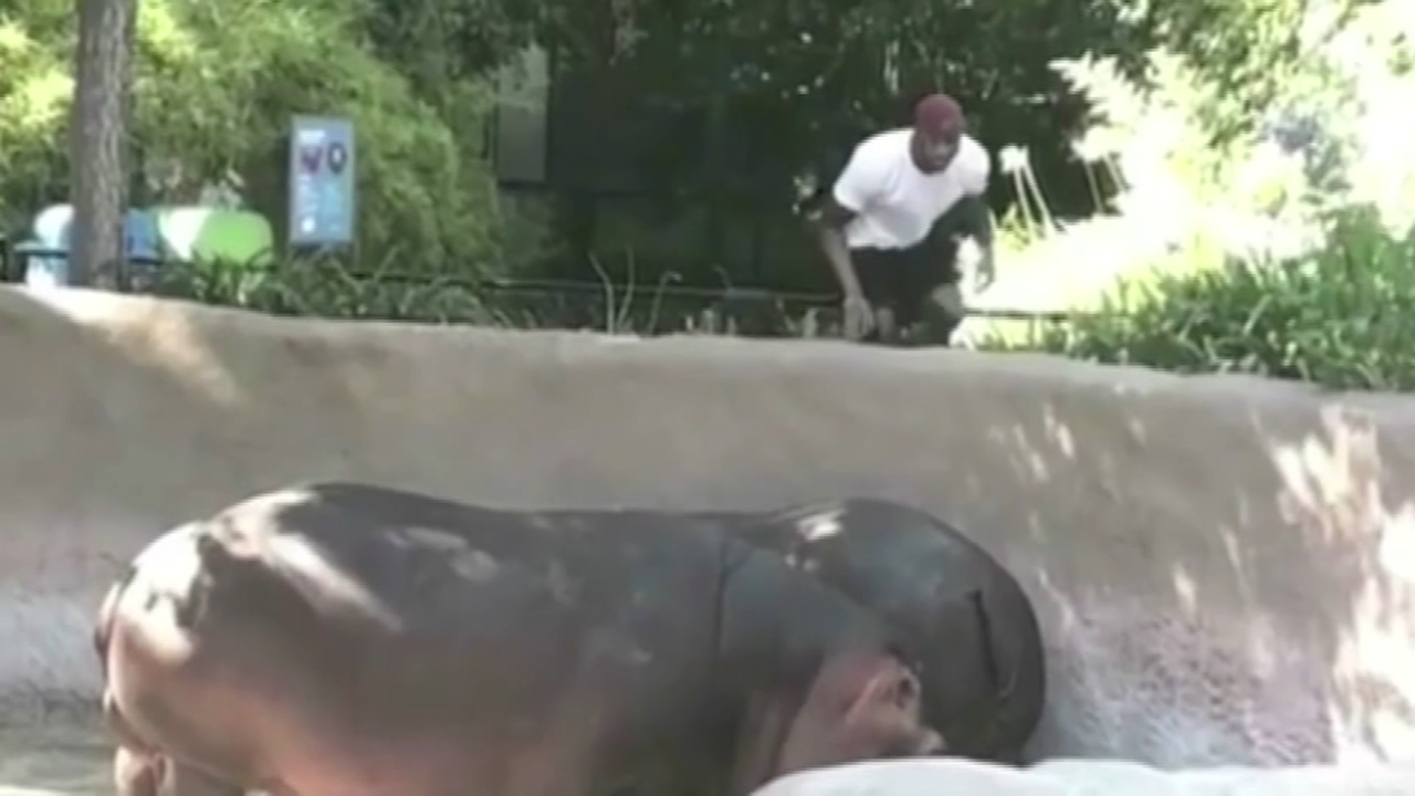 He might have done it for Instragram or YouTube fame, but now a man who crossed a barricade guarding a hippopotamus enclosure at the Los Angeles Zoo is looking at potential trespas