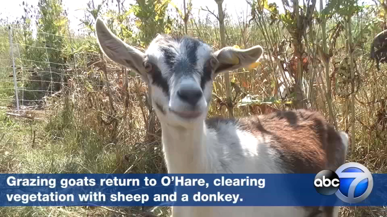 A group of goats, sheep and a donkey are working their way along the OHare airport perimeter one snack at a time.