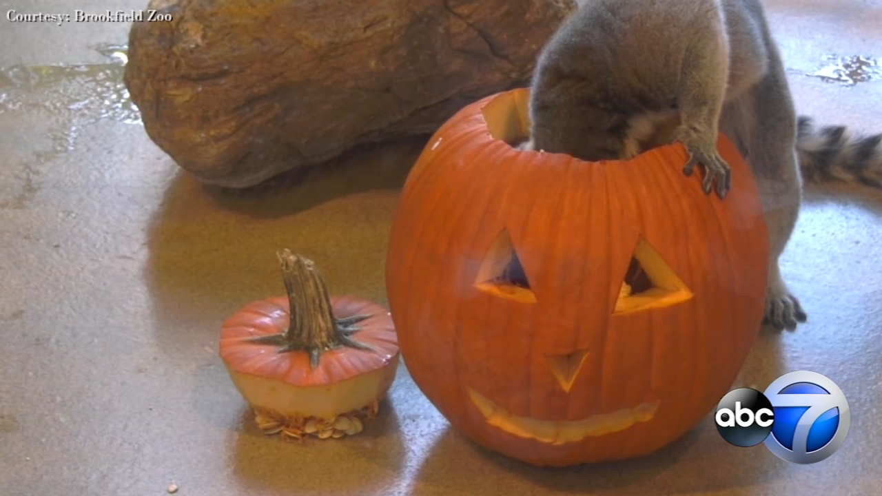 Some animals at the Brookfield Zoo received a Halloween pumpkin treat.