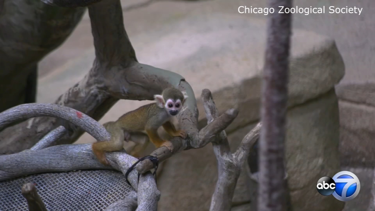 Meet one of the newest arrivals at the Brookfield Zoo: a baby squirrel monkey!