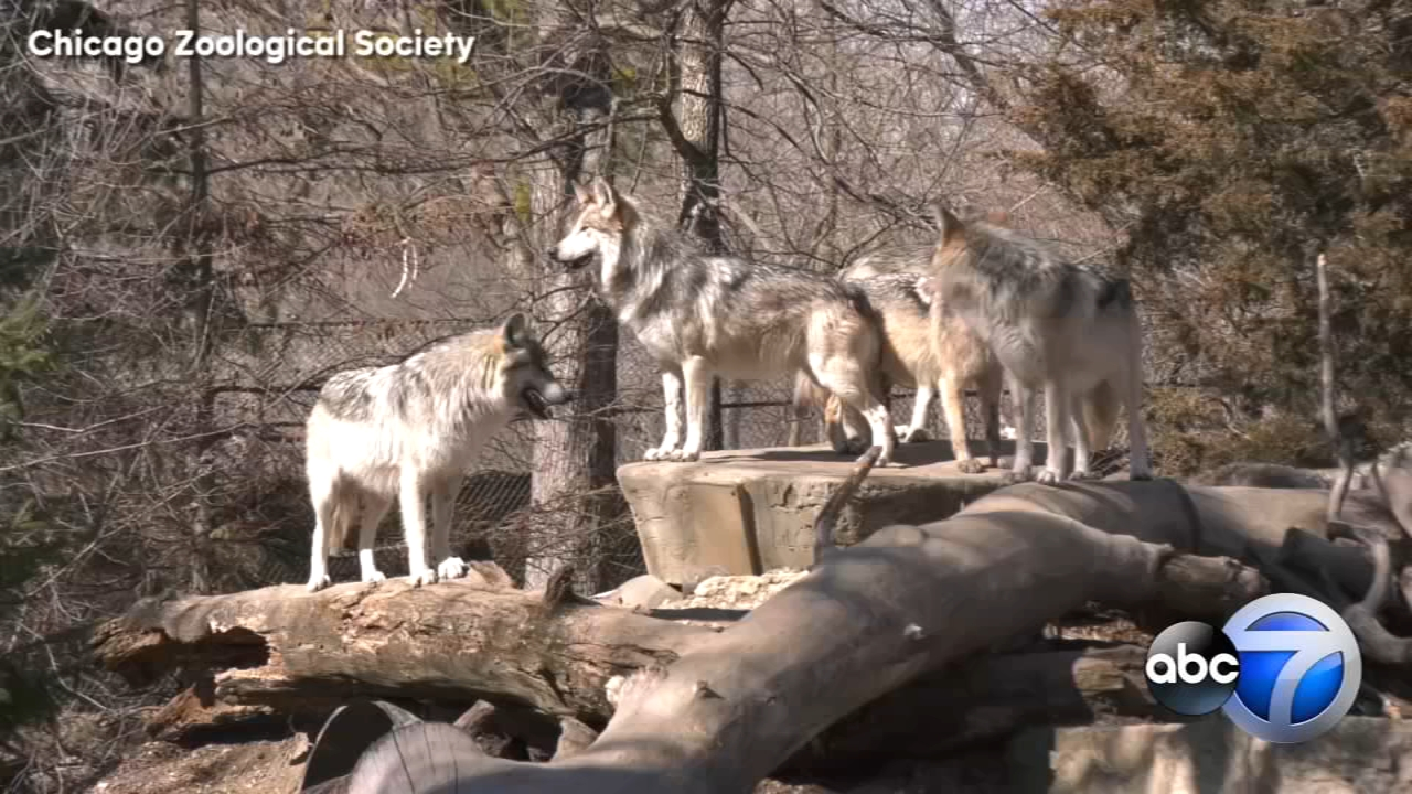 Brookfield Zoo guests can see the wolf pack together for the last time through Saturday.