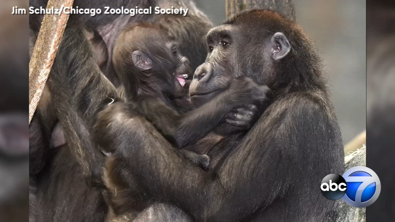 The Brookfield Zoo snapped some adorable photos of two of the young western lowland gorillas.