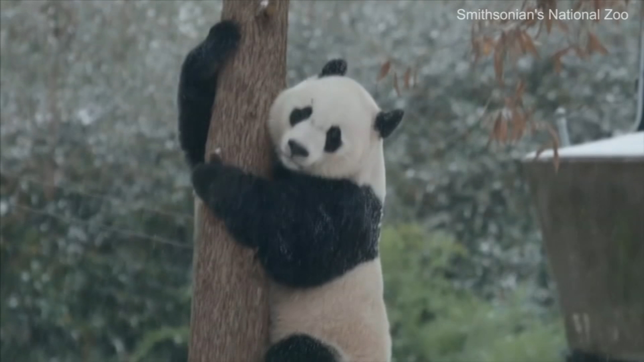 A giant panda at the Smithsonians National Zoo in Washington has been revelling in the first snowfall of the winter.