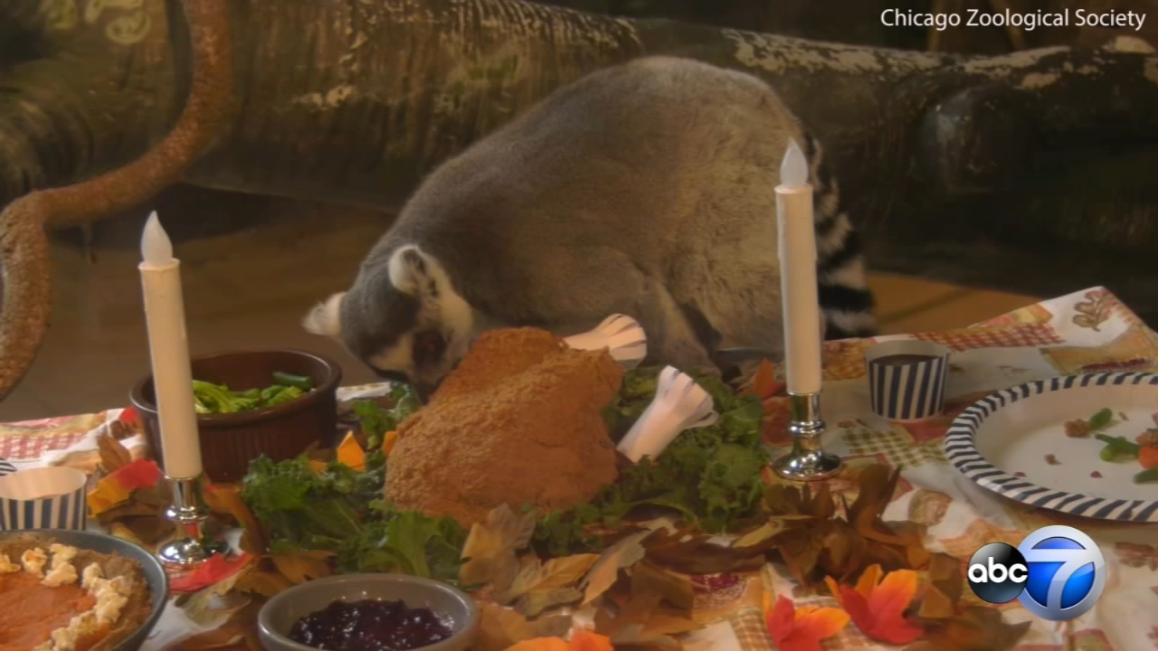 Brookfield Zoo served up a Thanksgiving feast on Wednesday to its lemurs.