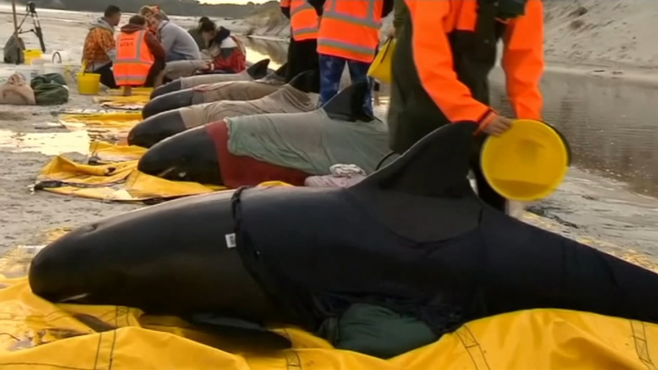 Conservation workers and volunteers in New Zealand managed to refloat six surviving stranded whales on Tuesday and were hoping the animals would soon swim away into deeper water.