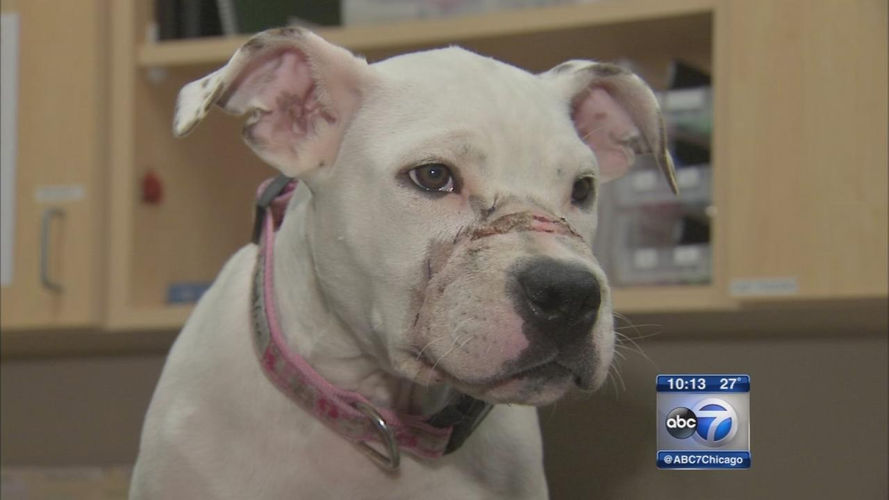 Abused dog on road to recovery