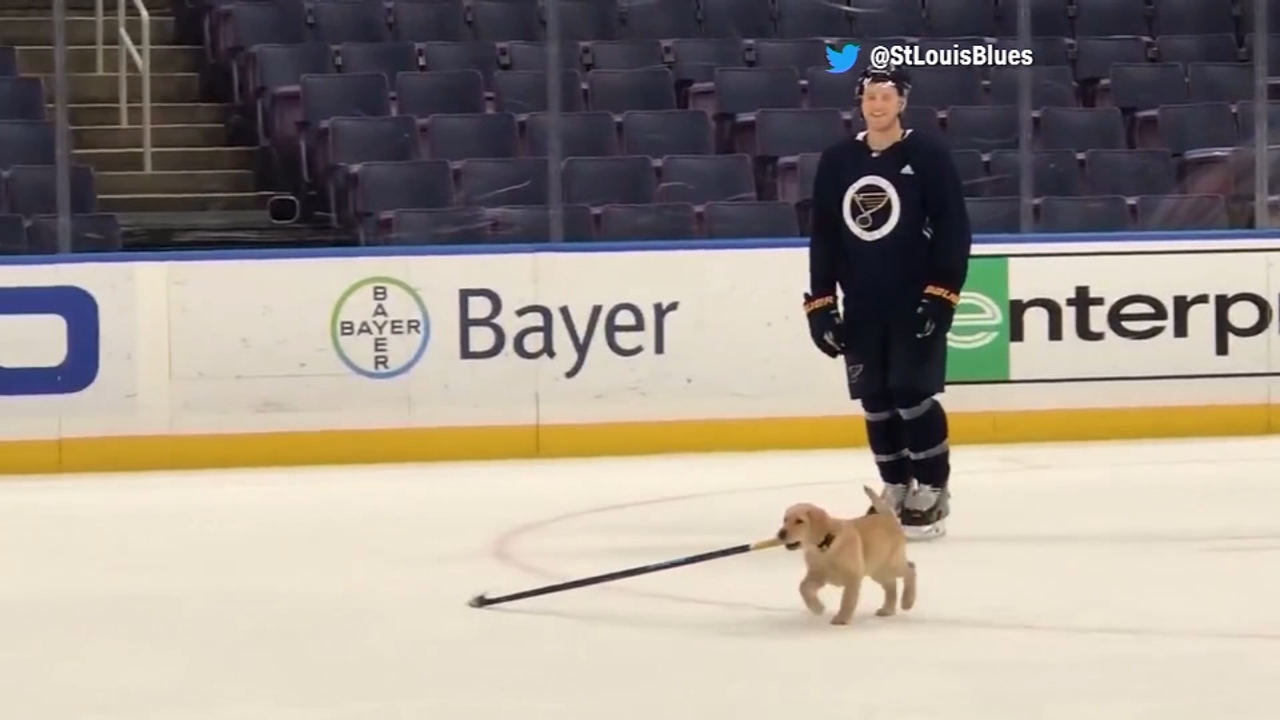 The St. Louis Blues adoped a Yellow Lab puppy who will eventually become a service dog.