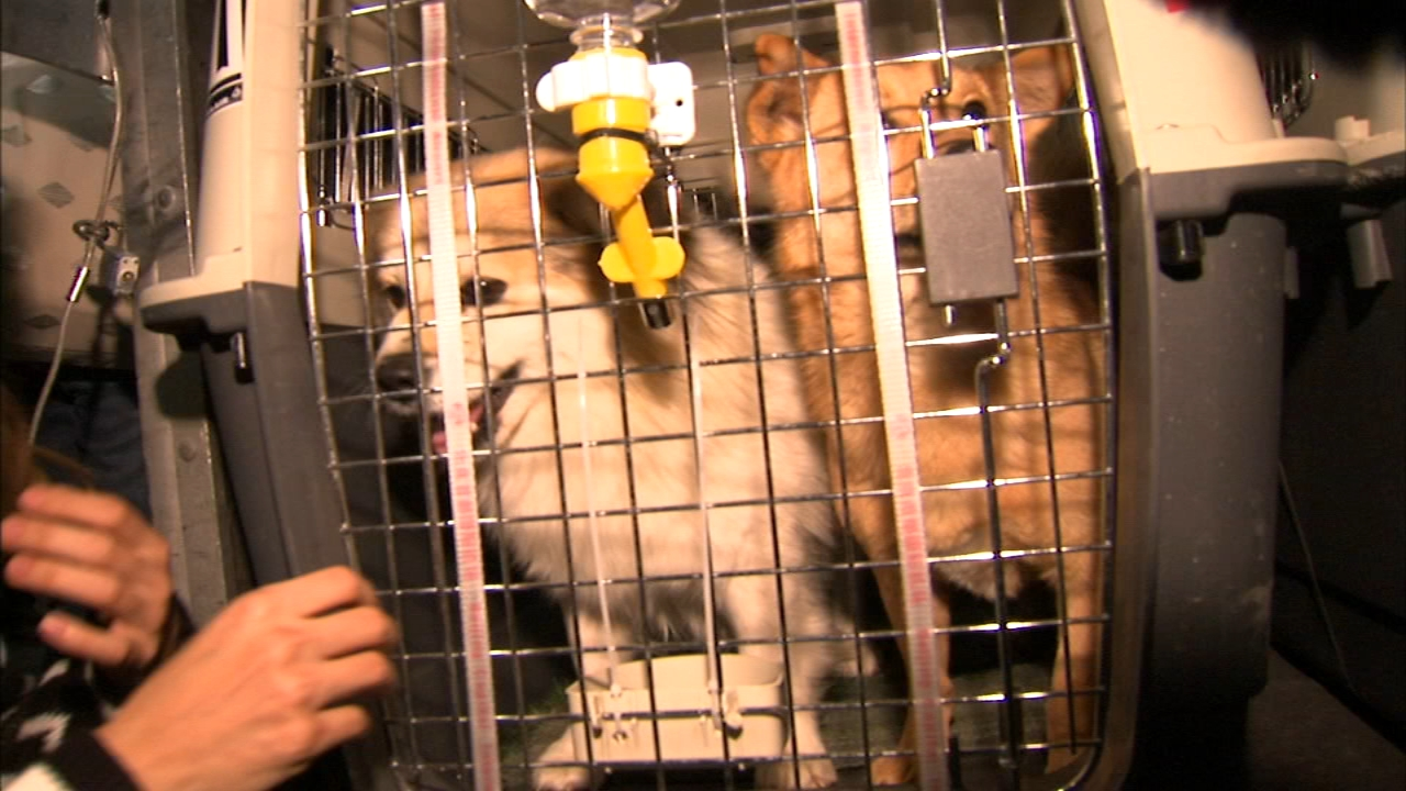 Ten dogs rescued from China arrived at OHare International Airport Tuesday night.