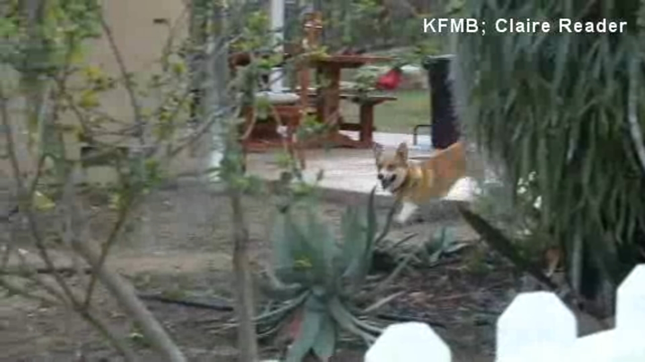 A California familys doorbell camera caught their corgi pulling one over on a coyote.