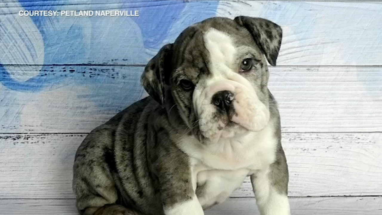 Police are on the lookout for a suspect who stole a rare blue English bulldog puppy destined to be someones Christmas gift from a suburban pet store.