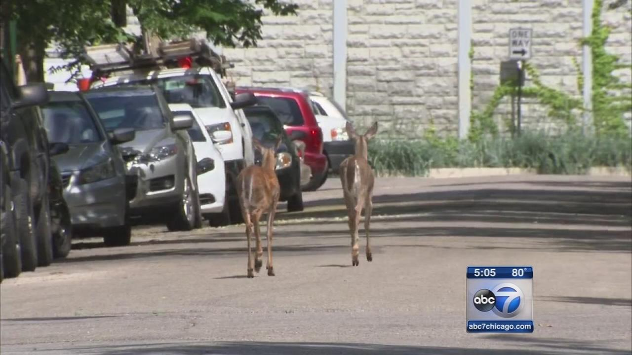 Two deer camped out in North Center